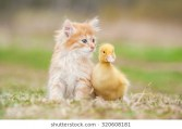 adorable-red-kitten-little-duckling-260nw-320608181